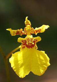 Kandyan_dancer_orchid_(Oncidium_sp.)